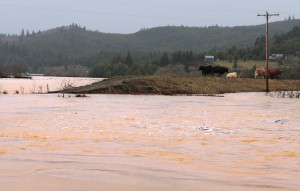 Cows stranded by flooding near Coquille River between Myrtle Point & Coquille | Jesse Higgins, The World