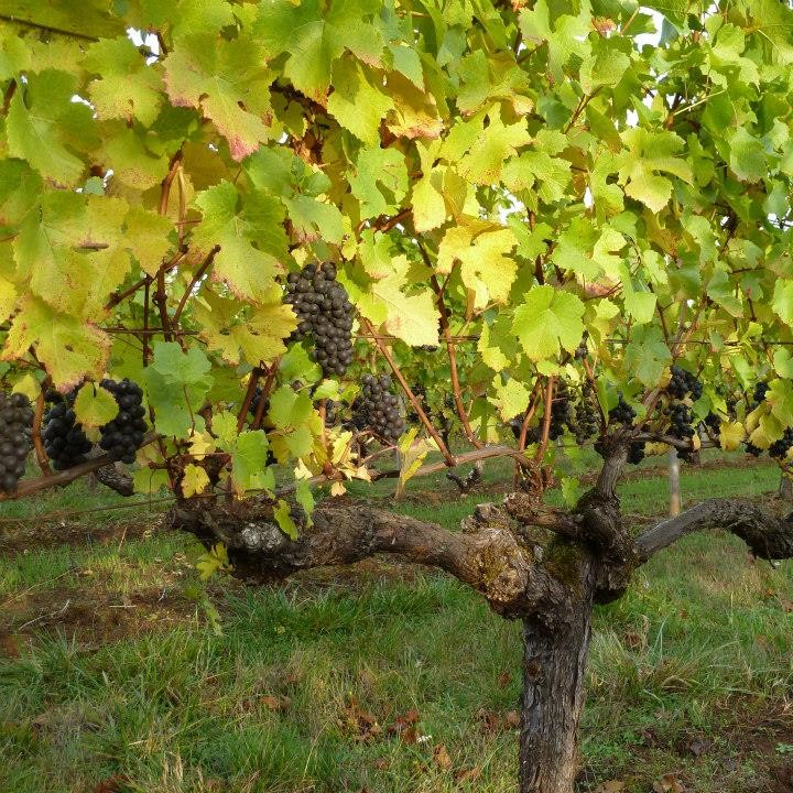 Hyland Estates Pinot vines