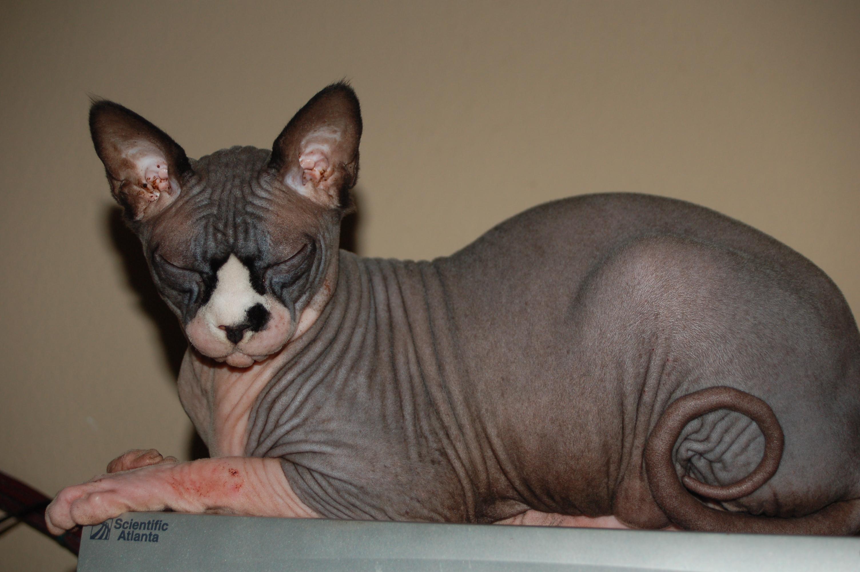 Animals___Cats_hairless_sphynx_cat_043892_ | Photo by www.zastavki.com