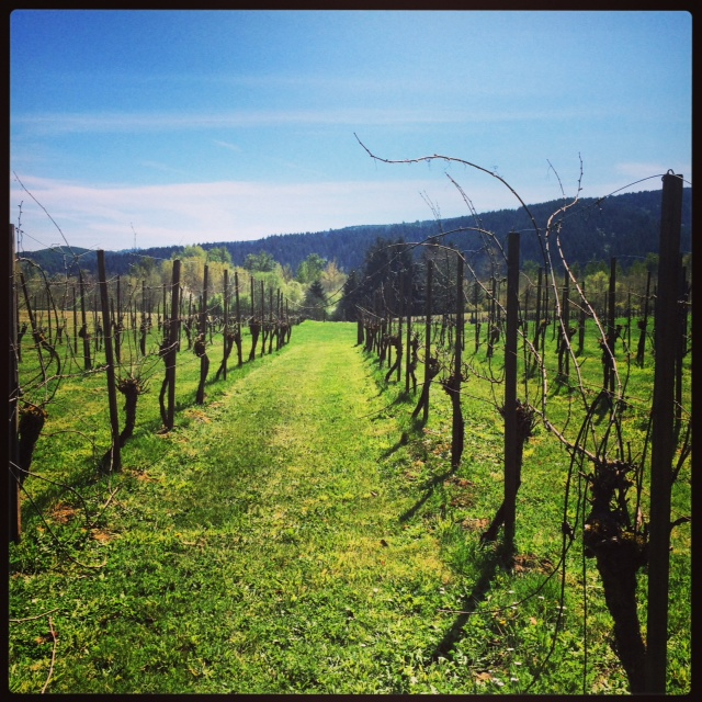 The vineyard lunch will take place down one of the rows of vines. By August, these will all be in full bloom.