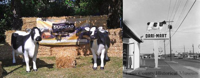 Lochmead Dairy Cows (Aretha is on the far left)