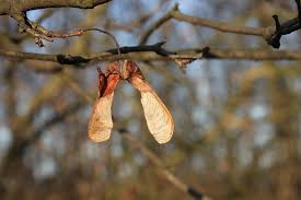 Maple seeds On Branch